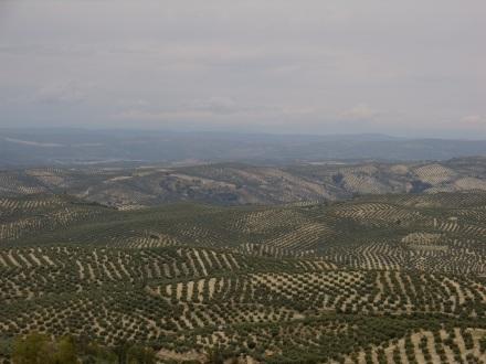 Und hier noch einmal einige der 60 Millionen Olivenbäume in der südspanischen Provinz Jaén.